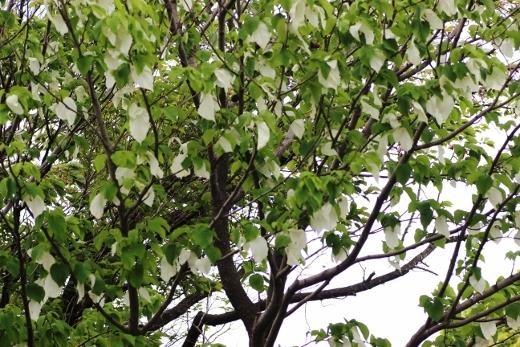 ハンカチの木3.jpg