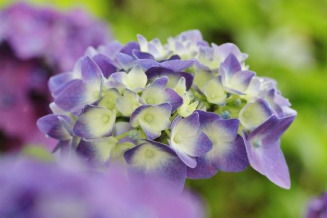 紫陽花10.jpg