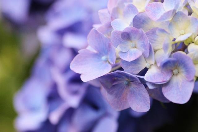 紫陽花2.jpg