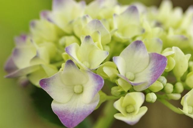 紫陽花4.jpg